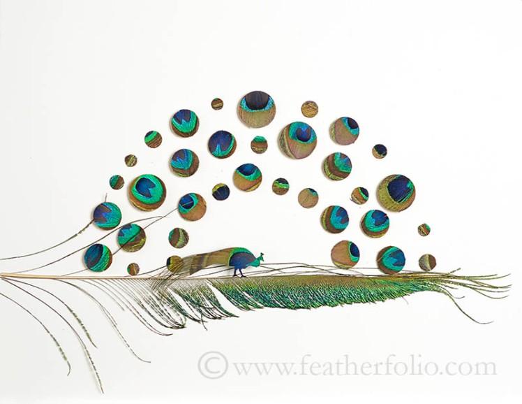 peacock-attraction-5webwm